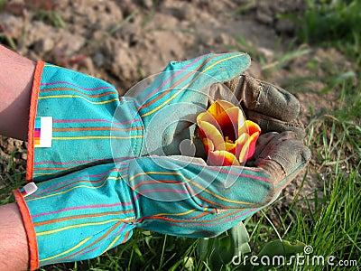 Giardiniere che protegge un tulipano