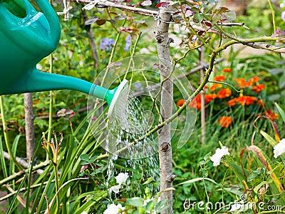 Giardino che innaffia dall 39 annaffiatoio fotografia stock - Annaffiatoio da giardino ...