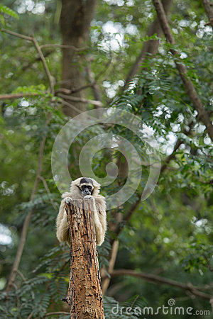 Free Gibbon Royalty Free Stock Photo - 33875235