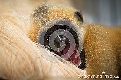 Gibbon baby