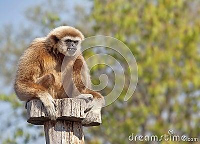 Gibbon de Lar