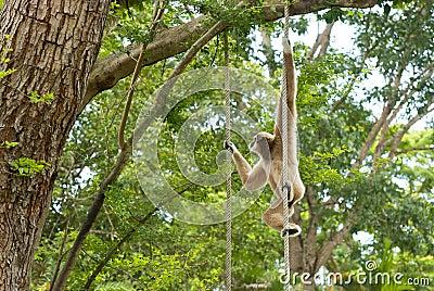 Gibbon de mejillas de oro