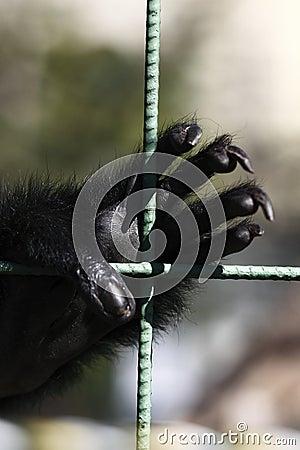Free Gibbon Hand Stock Images - 11208534