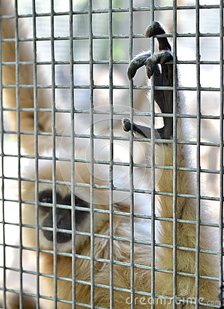 Free Gibbon In Cage Stock Photos - 41358013