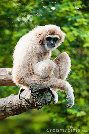 Free Gibbon In Zoo Royalty Free Stock Image - 25883146