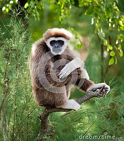 Gibbon staring to viewer