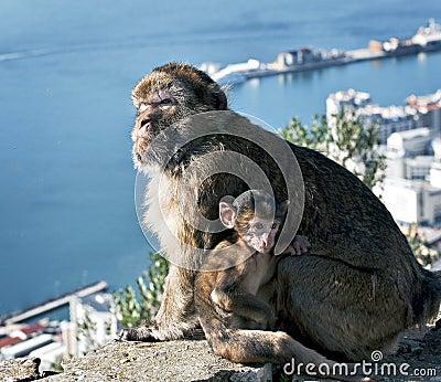 Gibraltar Barbary Apes