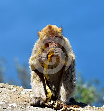 Free Gibraltar Barbary Macaque Stock Images - 96422814