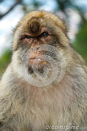 Free Gibraltar Monkey Stock Images - 24670324