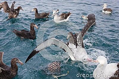 Gibson s Wandering Albatross Feeding Time