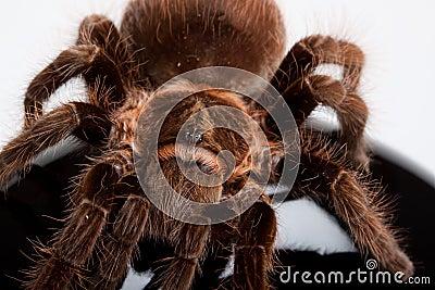 Gigant Spider on Wood