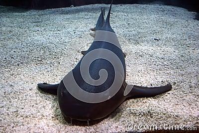 Gigantic cat-fish