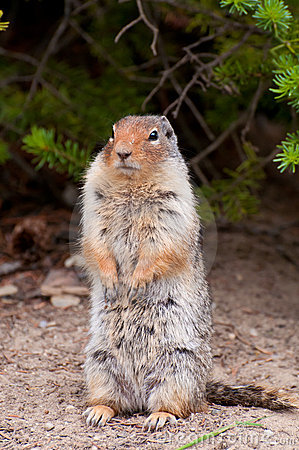 Gigantic rodent