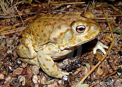 The gigantic Sonoran Desert Toad