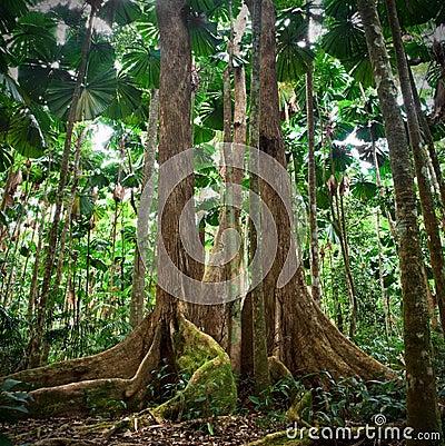 Gigantic tree tropical national park rainforest