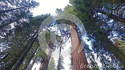 Gigantyczni drzewa przy sekwoja parkiem narodowym zdjęcie wideo