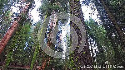 Gigantyczni redwood drzewa na pogodnym spadku dniu zdjęcie wideo