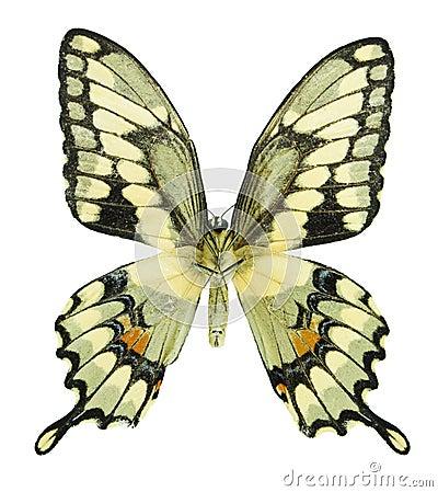 Gigantyczny swallowtail