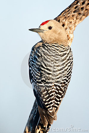 Free Gila Woodpecker Royalty Free Stock Images - 19278529