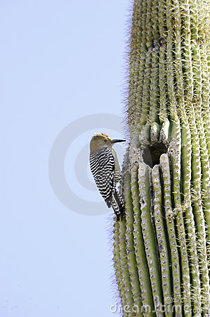 Free Gila Woodpecker Stock Photo - 21893080