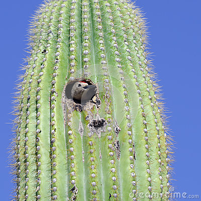 Free Gila Woodpecker Stock Photo - 37267820