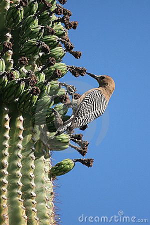 Free Gila Woodpecker Stock Images - 830204