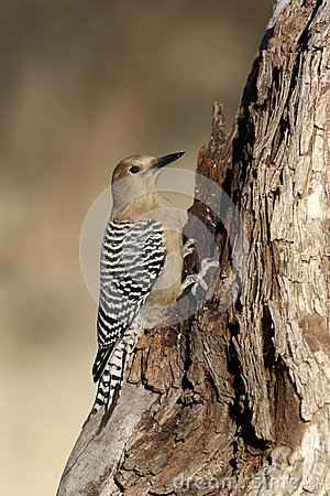 Free Gila Woodpecker, Melanerpes Uropygialis Stock Photo - 32942540
