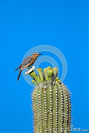 Free Gila Woodpecker, Melanerpes Uropygialis Stock Images - 55161654