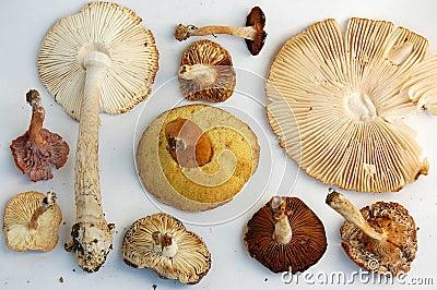 Gills of Wild Mushrooms