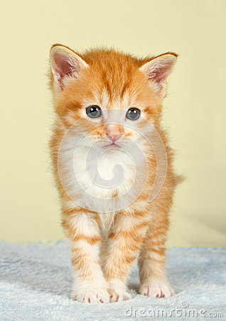 Ginder kitten standing on a blue blanket