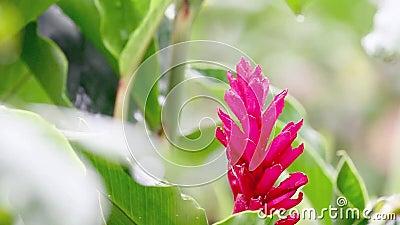 Ginger Bloom rouge dans la forêt tropicale banque de vidéos