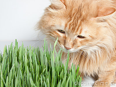 Ginger cat eats the grass
