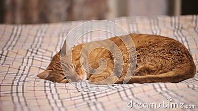 Ginger Cat Falls Asleep stock videobeelden