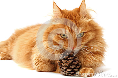 Ginger cat with a fir-cone shot