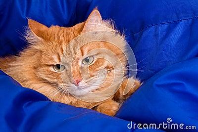 Ginger cat hiding in a blue blanket