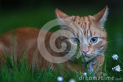 Ginger cat hiding in grass