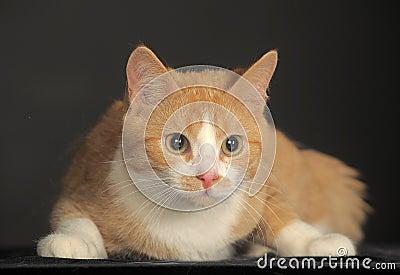 Ginger Cat over dark background.