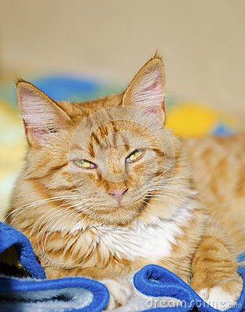 Ginger cat relaxing