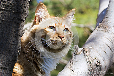 Ginger cat in a tree
