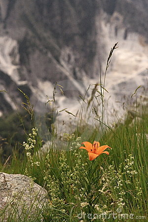 A ginger lily in Apuan Alps