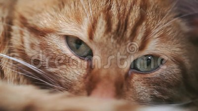 Ginger Red Cat Falls Asleep stock footage