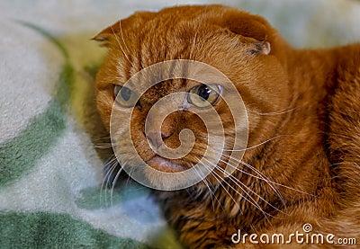 Ginger Scottish Fold Cat