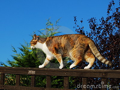 Ginger tabby cat walking on garden fence