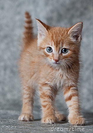 Ginger tiger-kitten