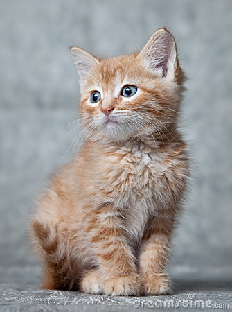 Ginger tiger-kitten