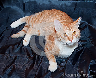 Ginger and white cat with yellow eyes lying on black