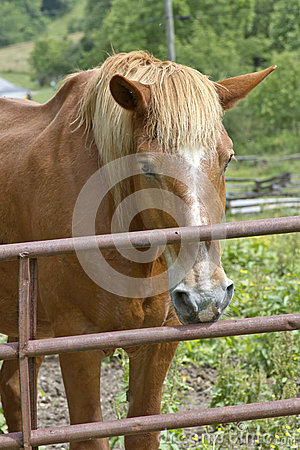 Ginger and White Farm Horse