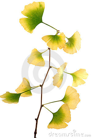 Gingko Biloba Royalty Free Stock Images - Ima