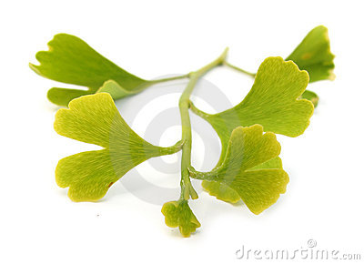 Ginkgo biloba branch with leaves