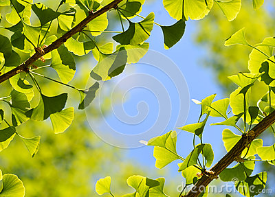 Ginkgo Biloba, Green Leaf Background